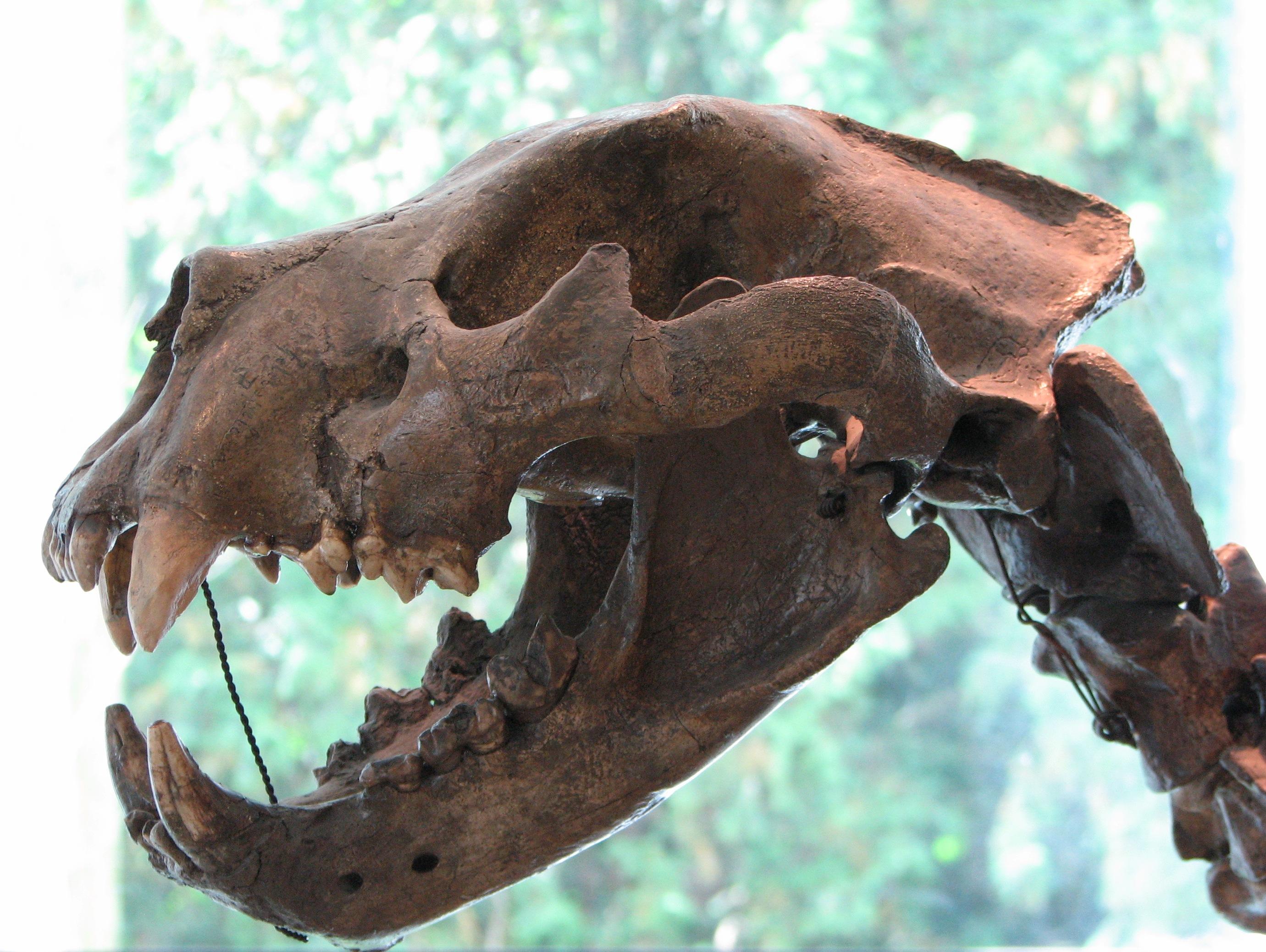 Schädel eines Höhlenlöwen