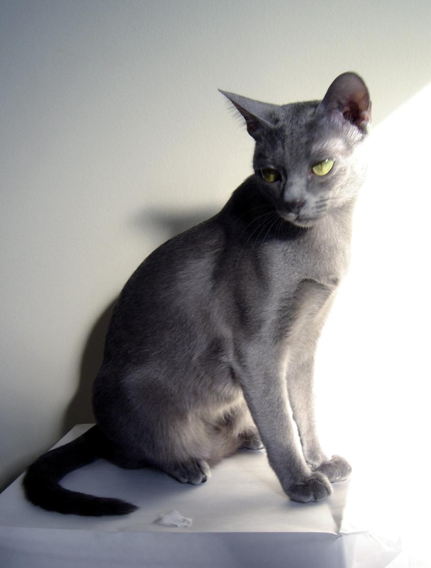 Ultimate cat cat breeds korat - Chat qui perd pas ses poils ...