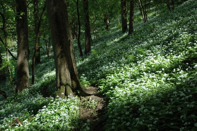 Path through wild garlic - geograph.org.uk - 1310239