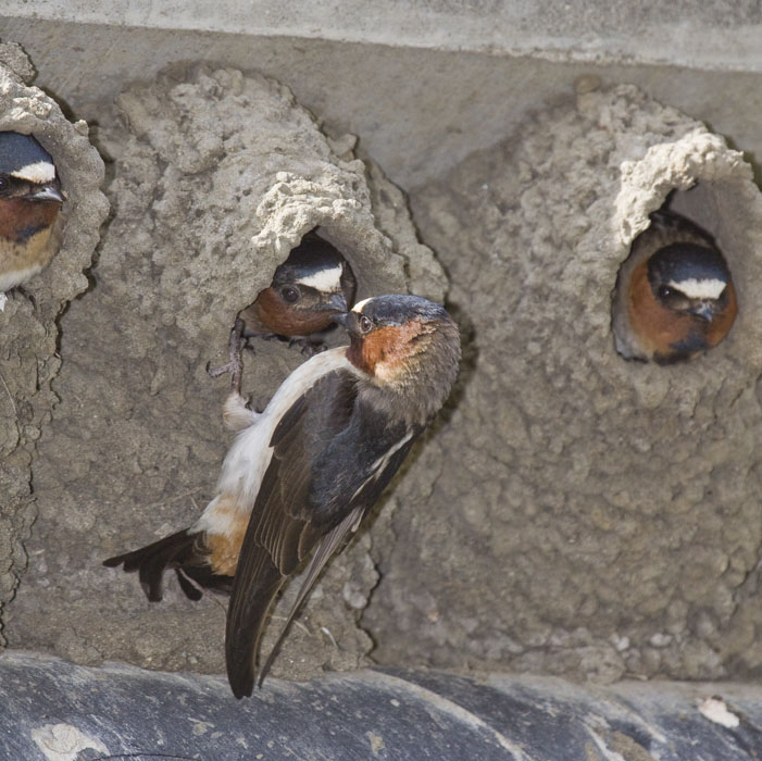 Image result for mud nests swallows