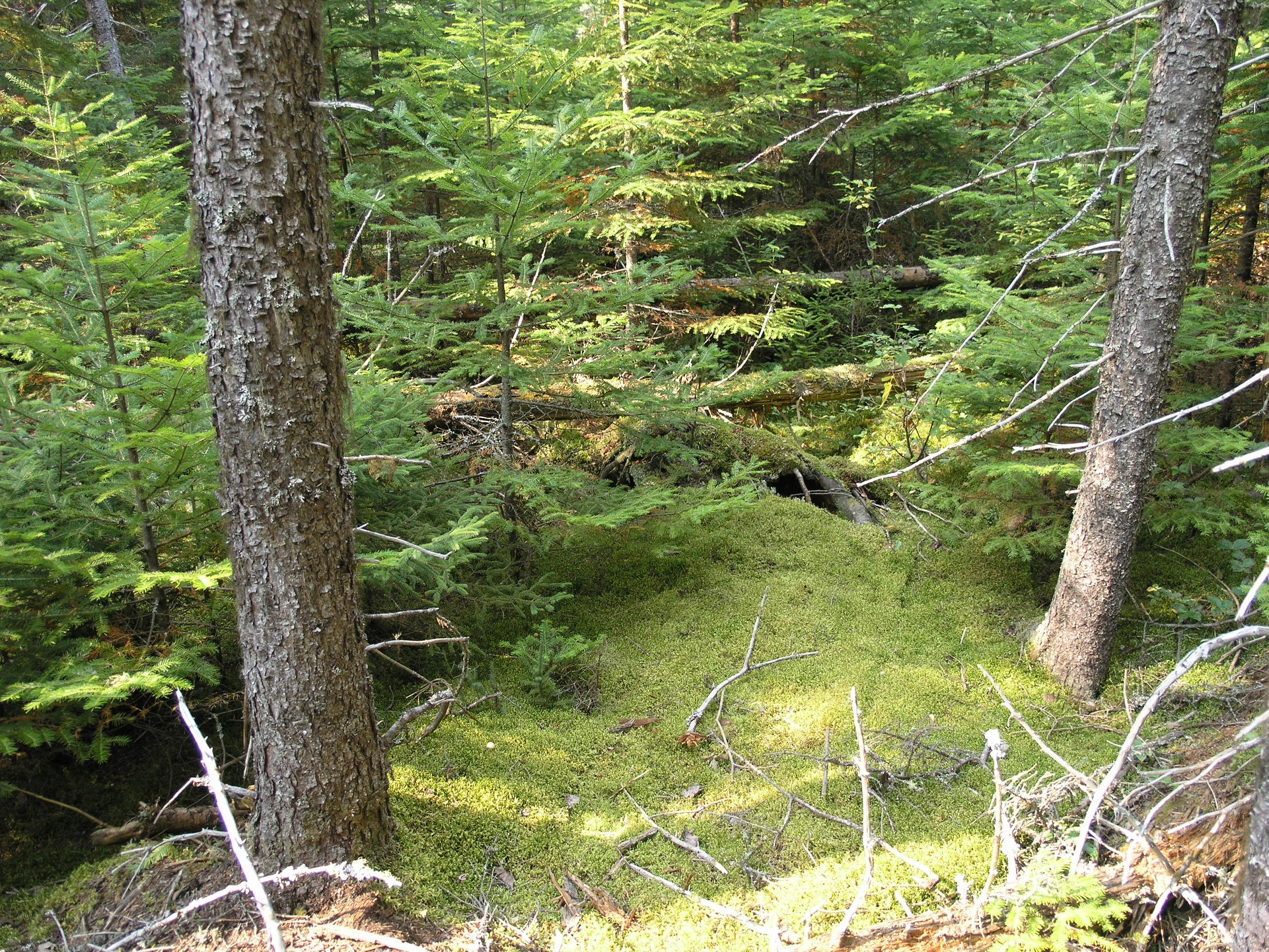 wikiproject environment pleuroziumpiceaborealforest jpg
