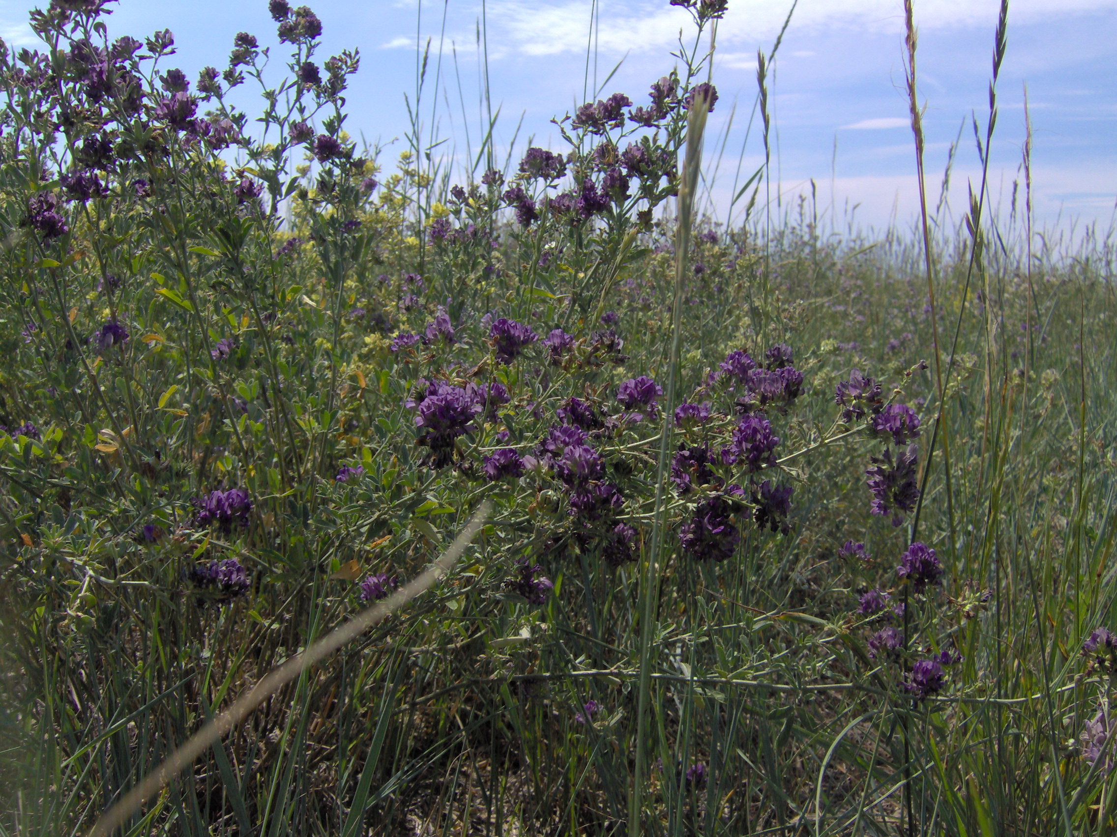 Filepurple prairie flowerg wikimedia commons filepurple prairie flowerg mightylinksfo