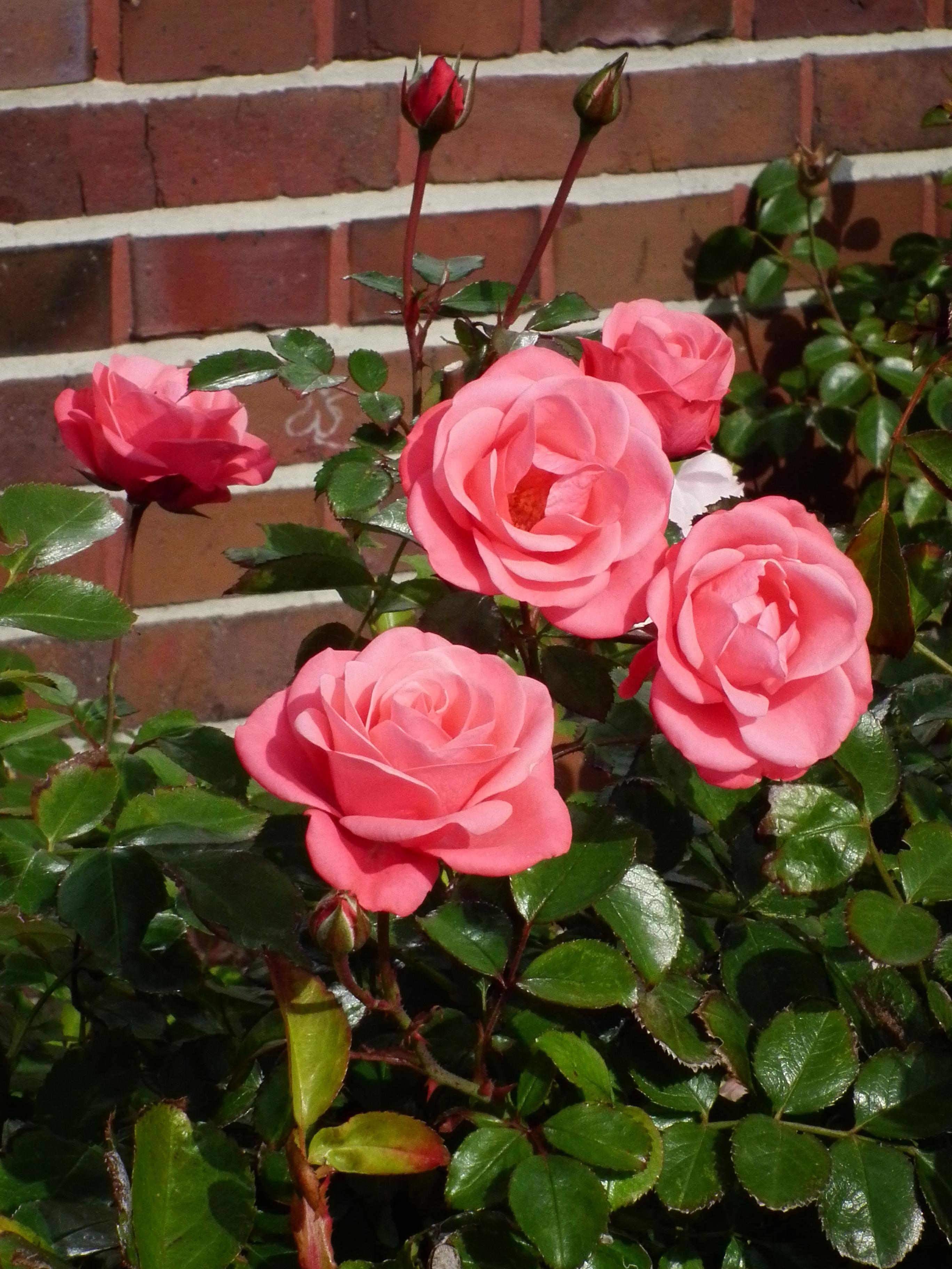rosen rosa rosa rosen related keywords suggestions rosa rosen rosa rosen bilder rosa rosen. Black Bedroom Furniture Sets. Home Design Ideas