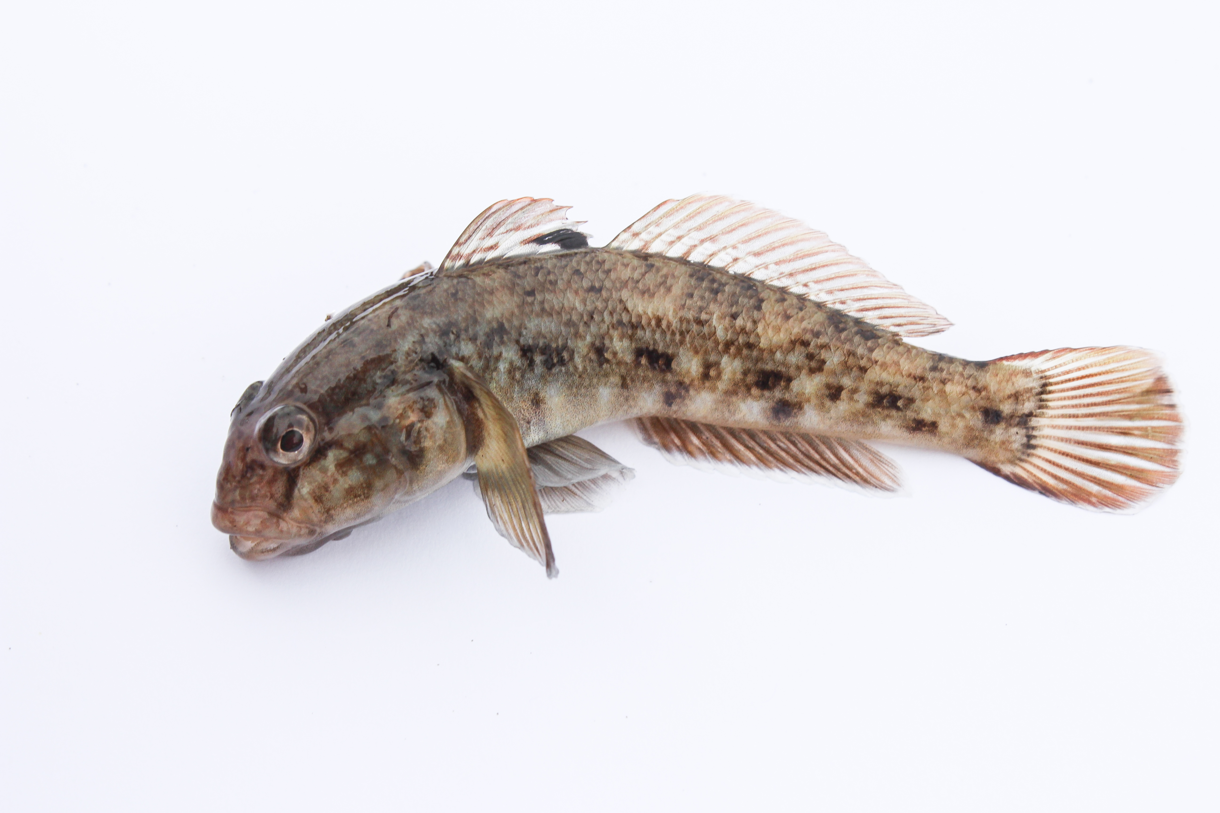 fileround goby in the netherlands a invasive fish and in