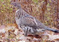 Ruffed Grouse from USFWS