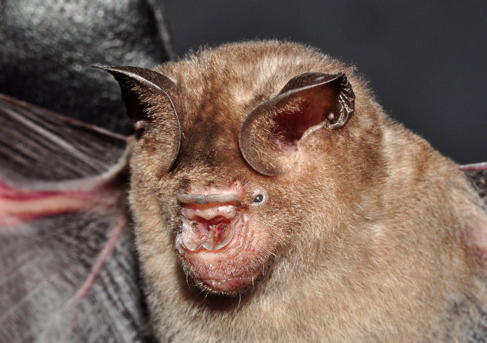 Schneiders Leaf Nosed Bat Close