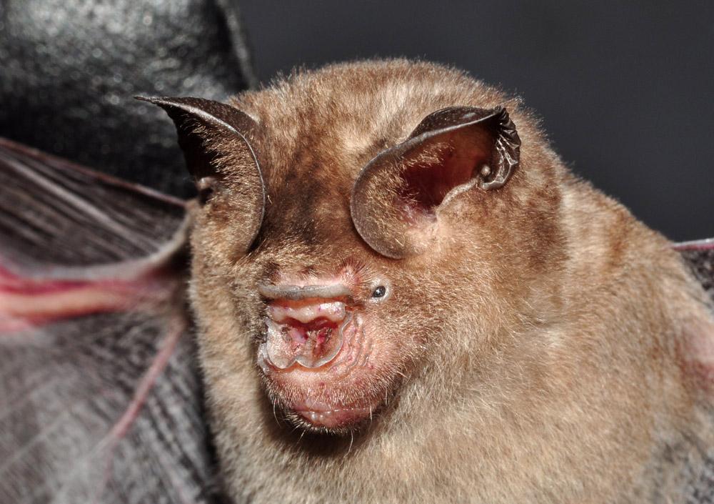 leafed-nose bat