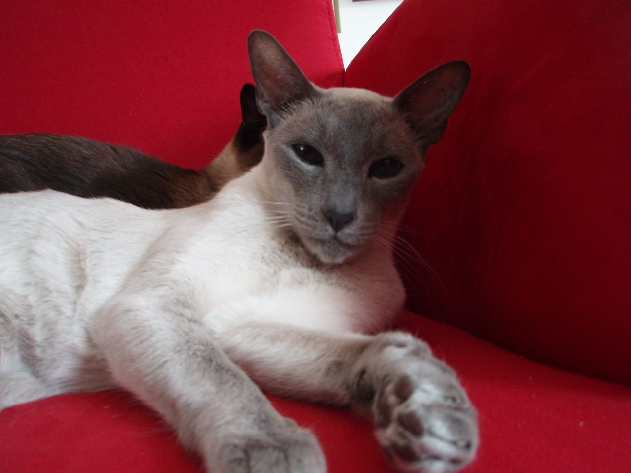 Siamese Cats For Adoption In Okc