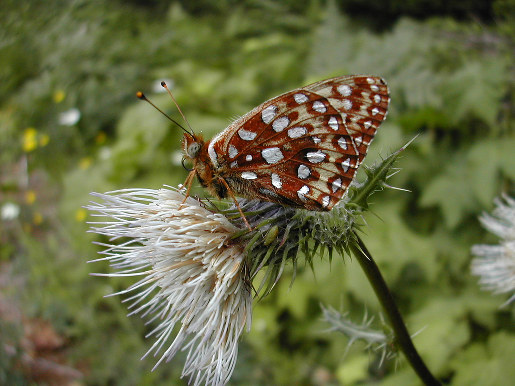 Oregon silverspot butterfly threatened species, By U.S. Fish and Wildlife Service [Public domain], via Wikimedia Commons