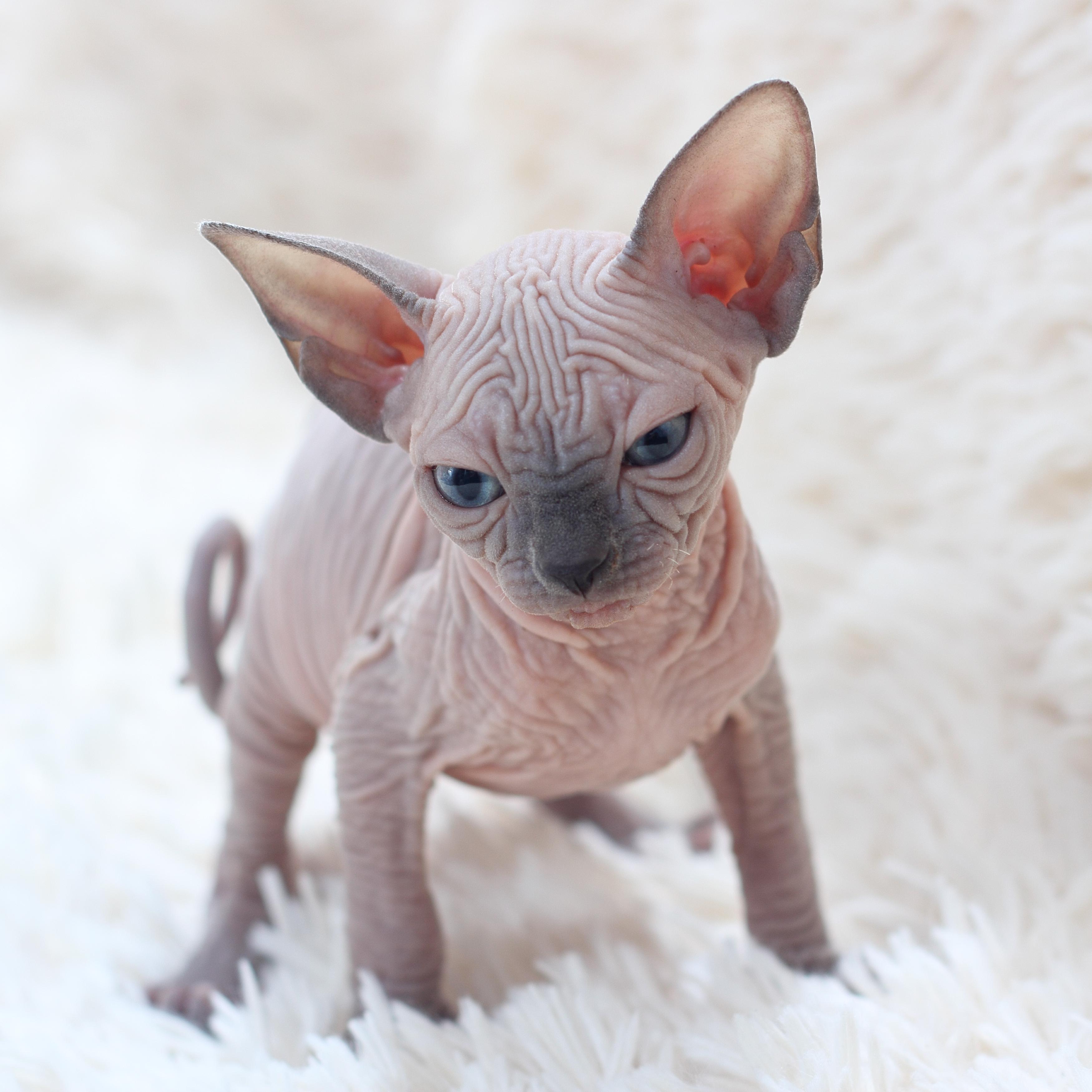File:Sphynx kittens jpg - Wikimedia Commons
