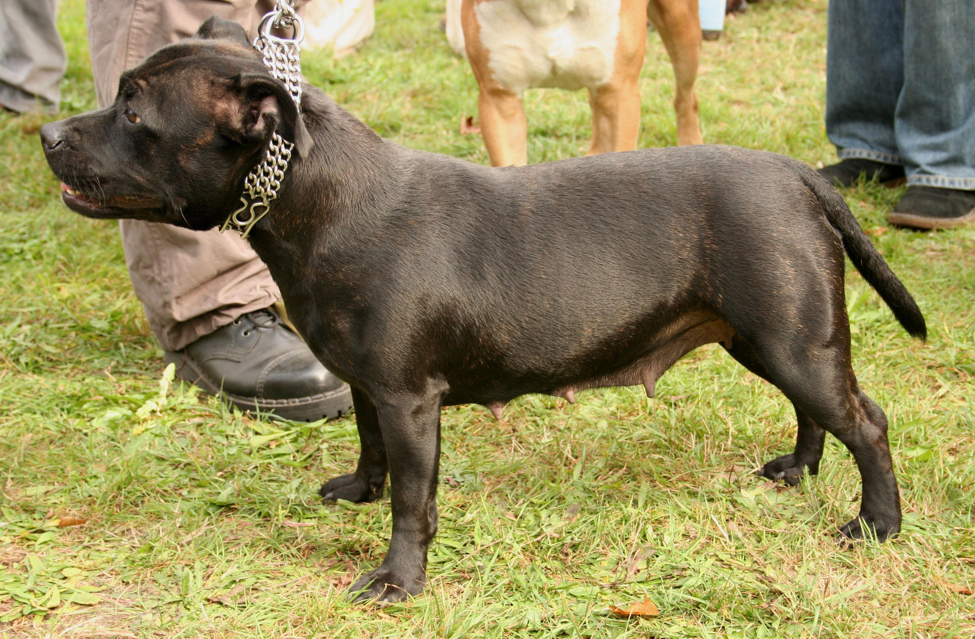engelsk bulldog hundehvalpe til salg