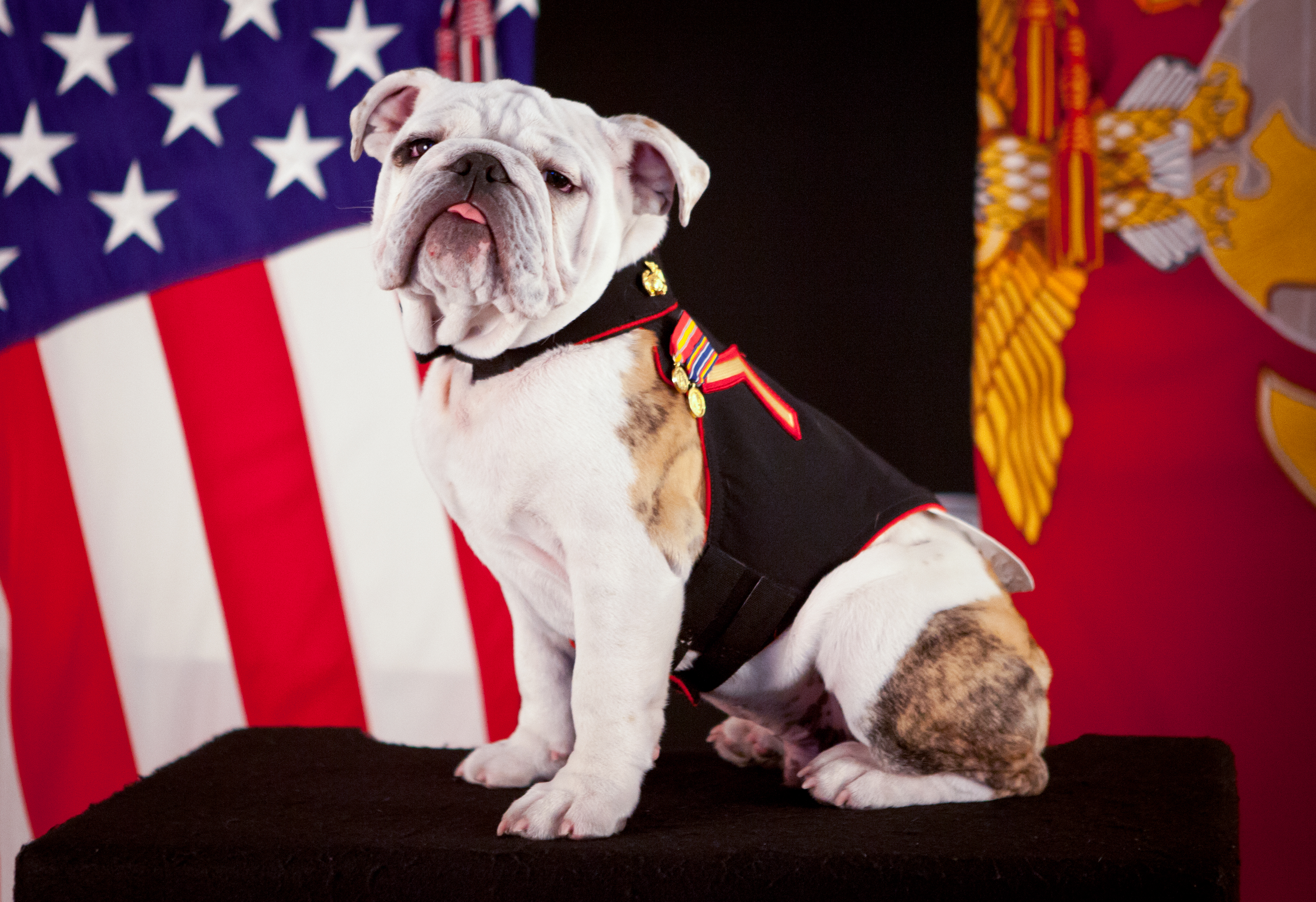 File:The official mascot of the Marine Corps, English ...