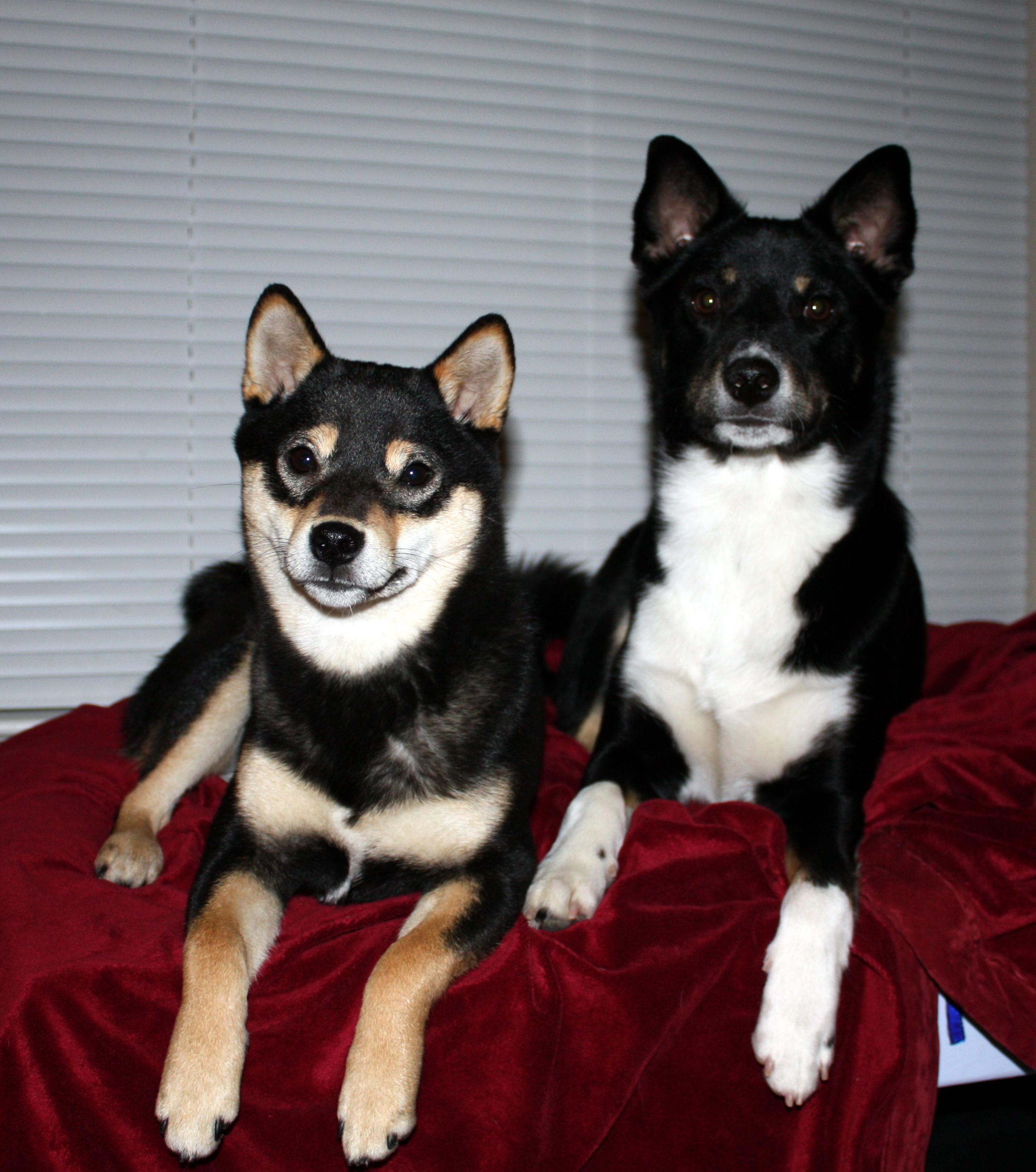 Shiba Inu Border Terrier Mix