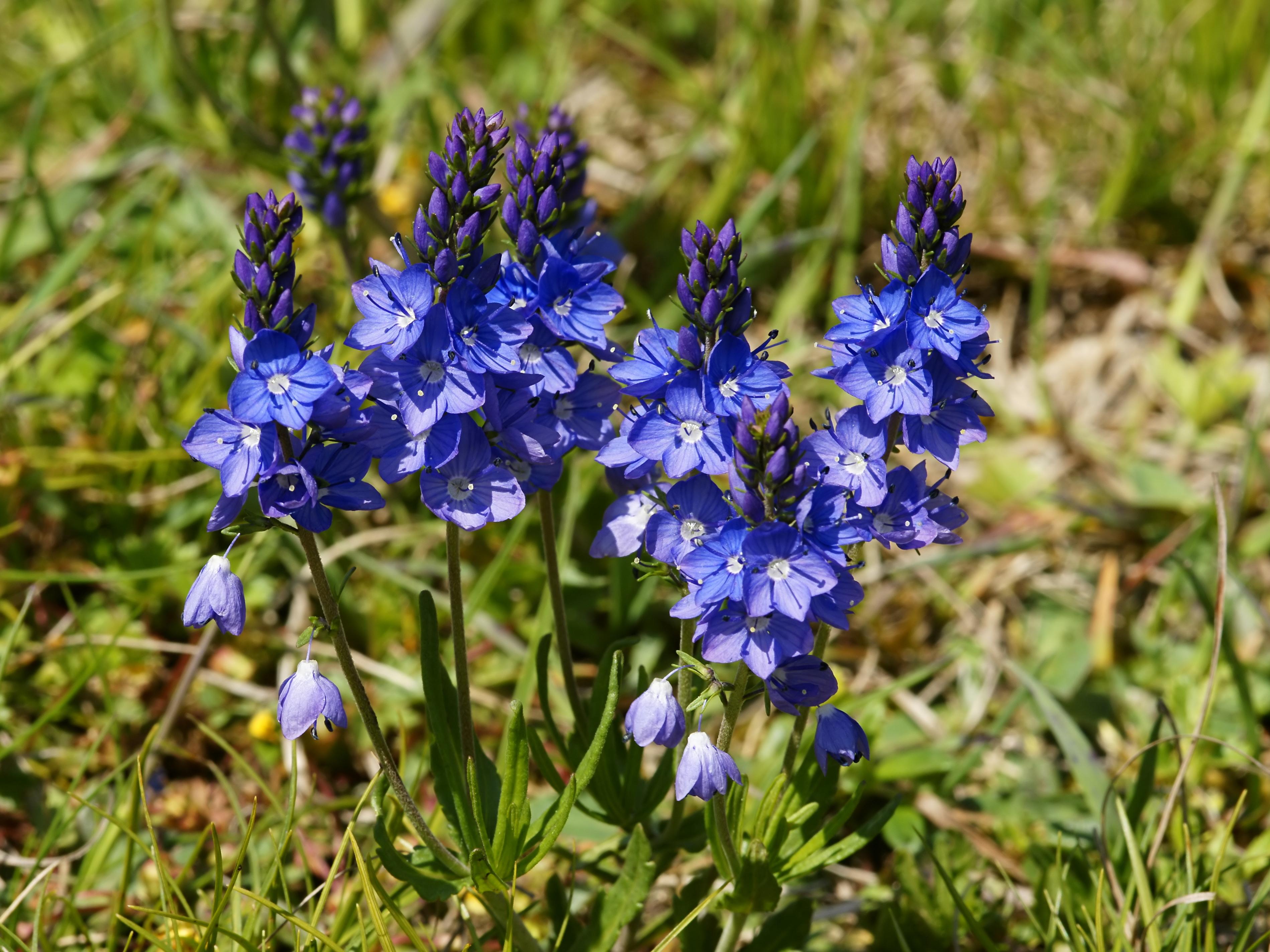 https://upload.wikimedia.org/wikipedia/commons/5/55/Veronica_prostrata_subsp._scheereri_(plant).jpg