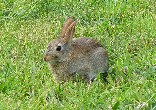 Wild Backyard Rabbits : Discrijhaedje A Wild Rabbit at Lossiemouth  geographorguk  1441920