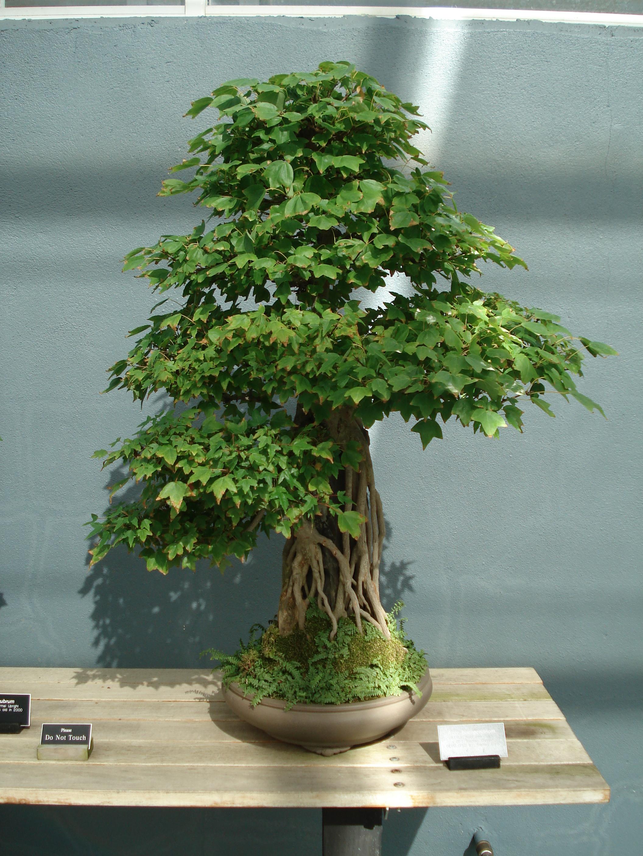 Mini Banana Tree File Acer Buergerianum Bonsai Jpg