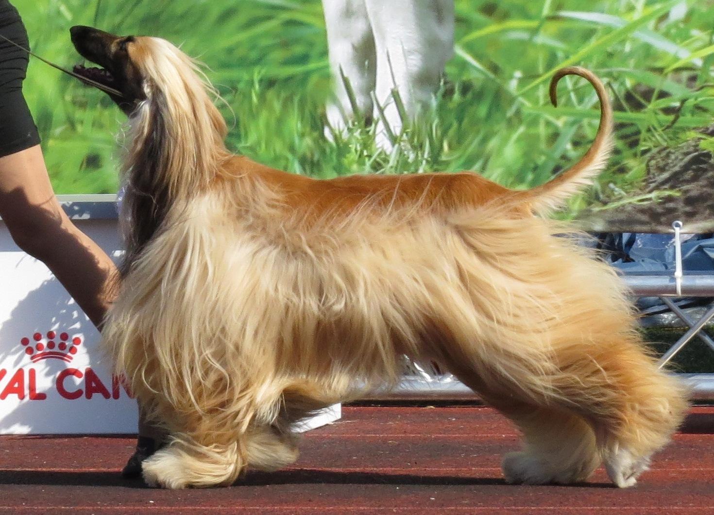 fileafghan hound in tallinnjpg wikimedia commons