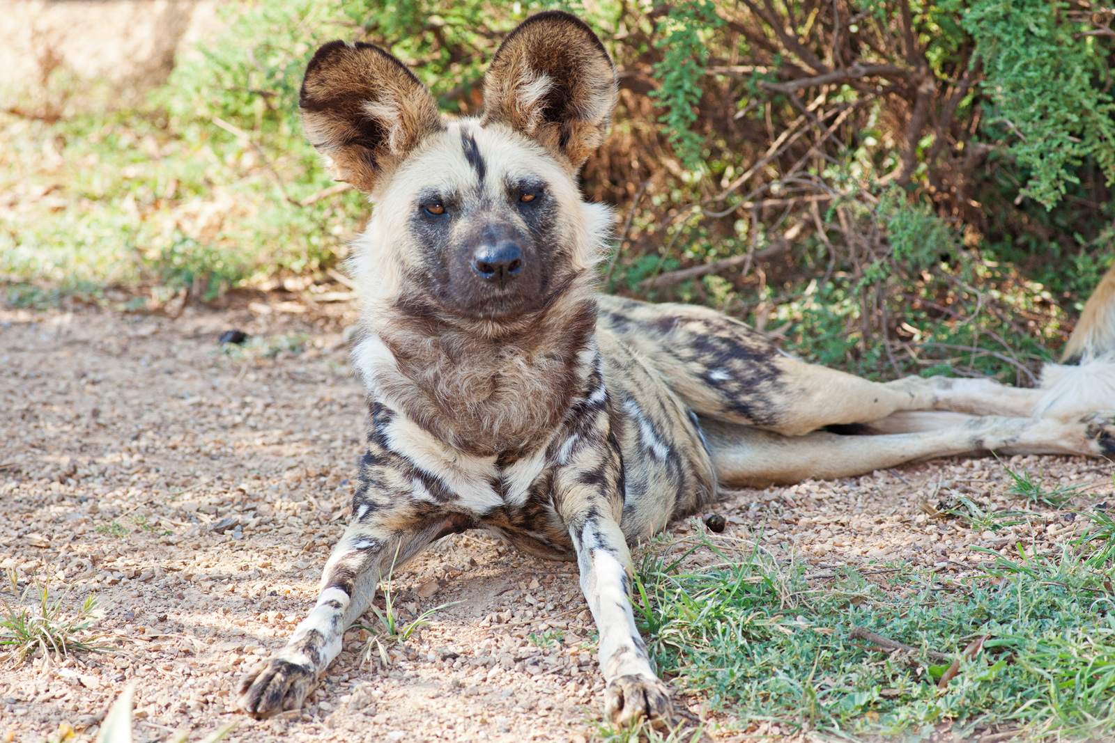 File:African wild dog Feb09 02.jpg - Wikimedia Commons