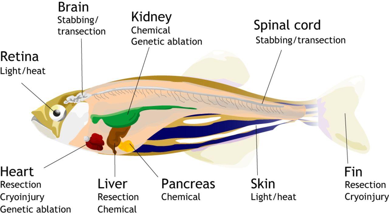 File:Anatomi ikan zebra.jpg