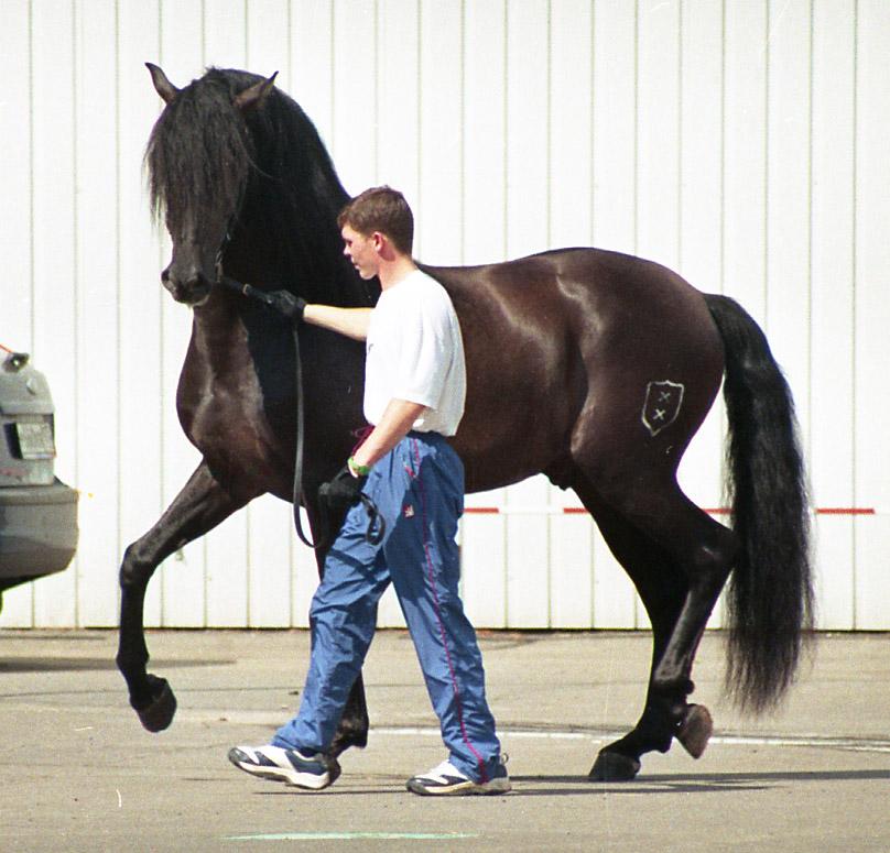 Andalusian horse - Wikipedia