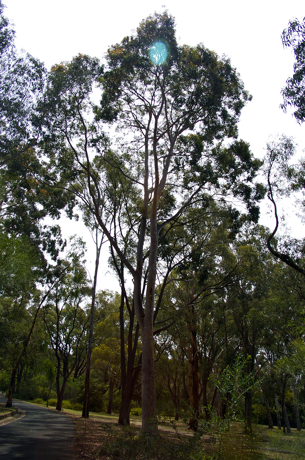 File Angophora Costata In The Australian National Botanic Gardens Jpg Wikimedia Commons