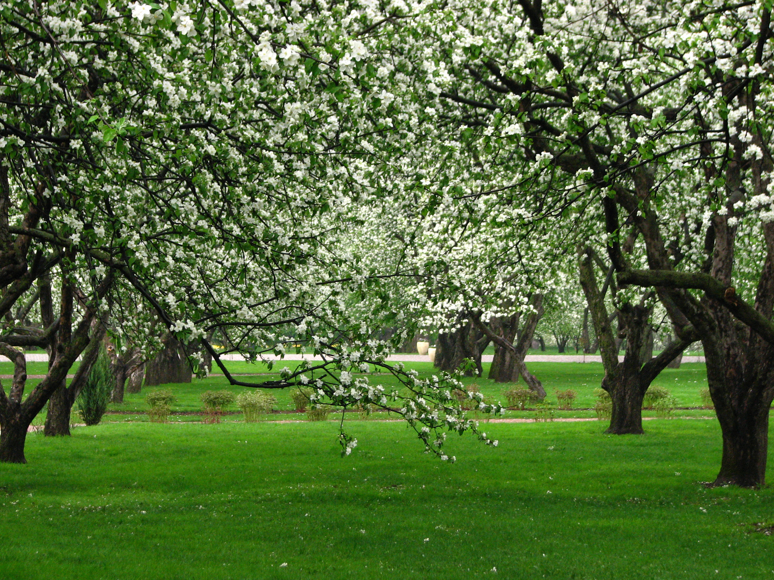 File:Apple orchards in Kolomenskoye 06.JPG