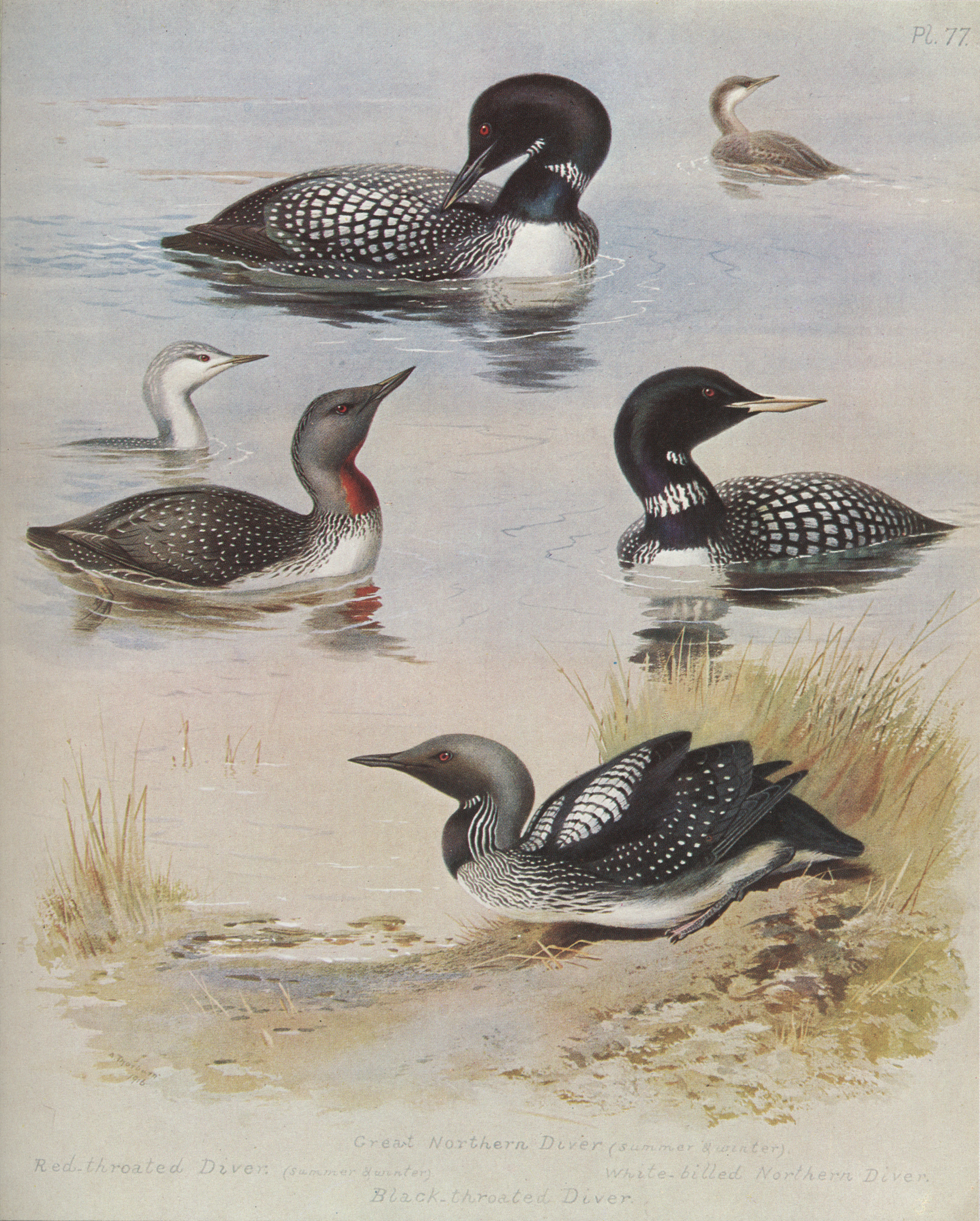 http://upload.wikimedia.org/wikipedia/commons/5/56/Archibald_Thorburn_Plate_77.jpg