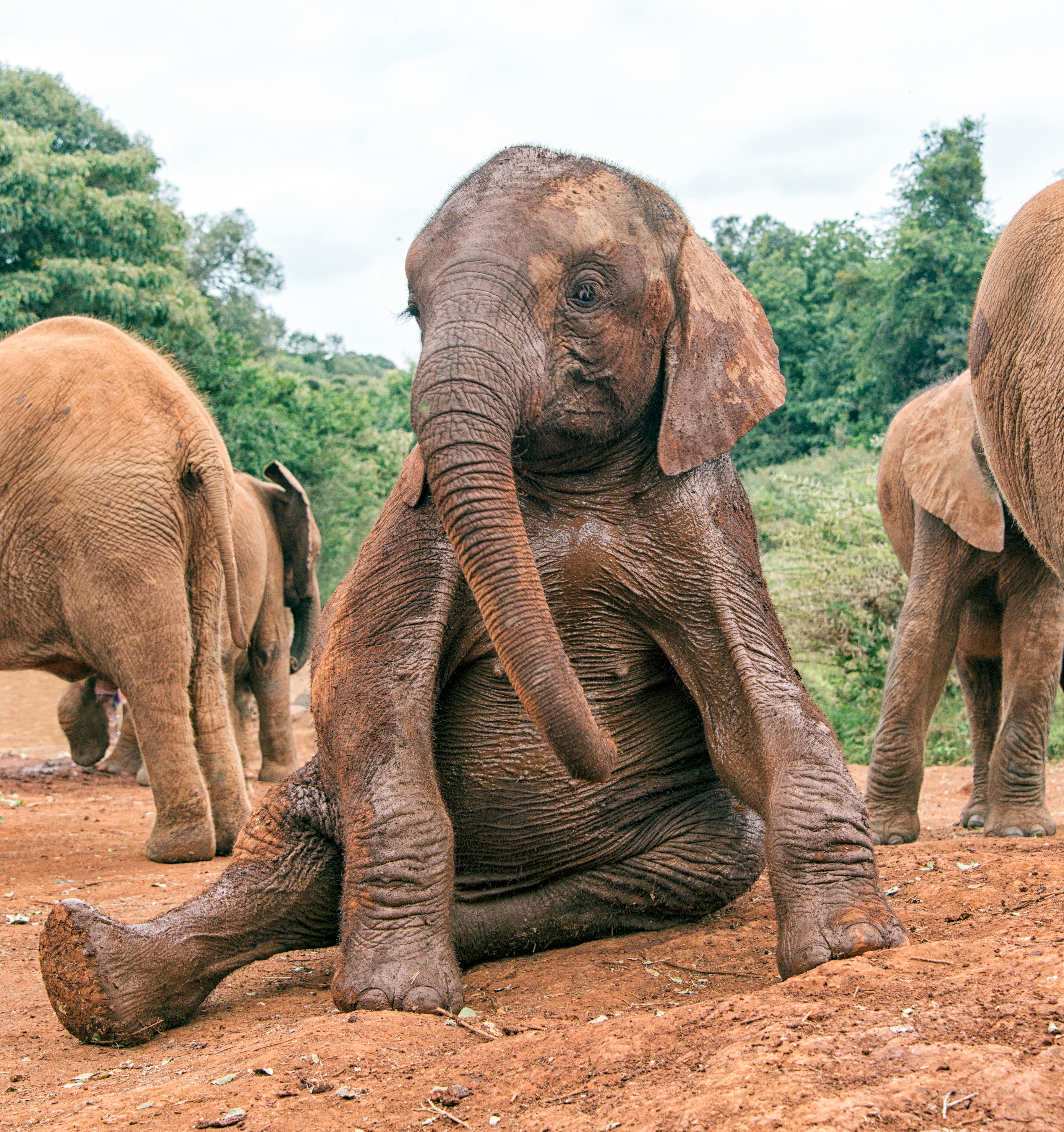 Виды слонов с картинками