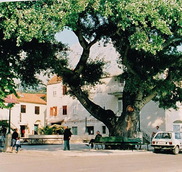 File:Baska-Vodas alter Baum in der Ortsmitte.jpg