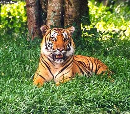 Panthera tigris tigris Bengaltiger_%28Panthera_tigris_tigris%29