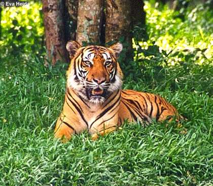 Imagen:Bengaltiger (Panthera tigris tigris).jpg