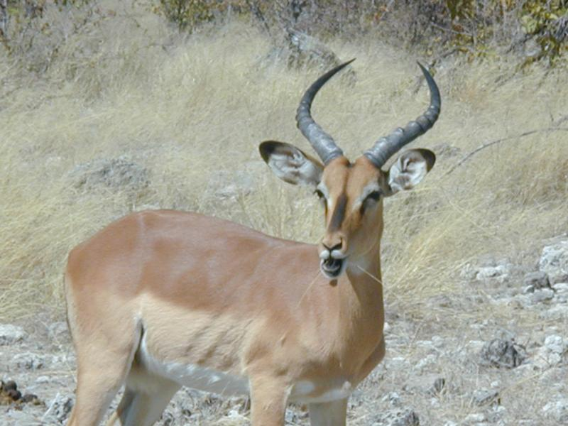 Dosiero:Black-faced impala.jpg