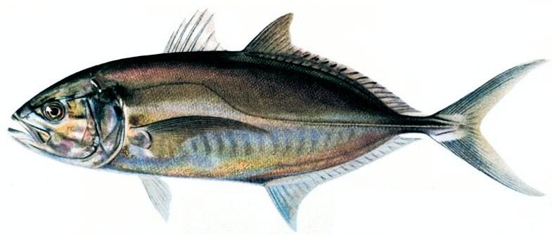 Blue runner wikipedia for Blue runner fish
