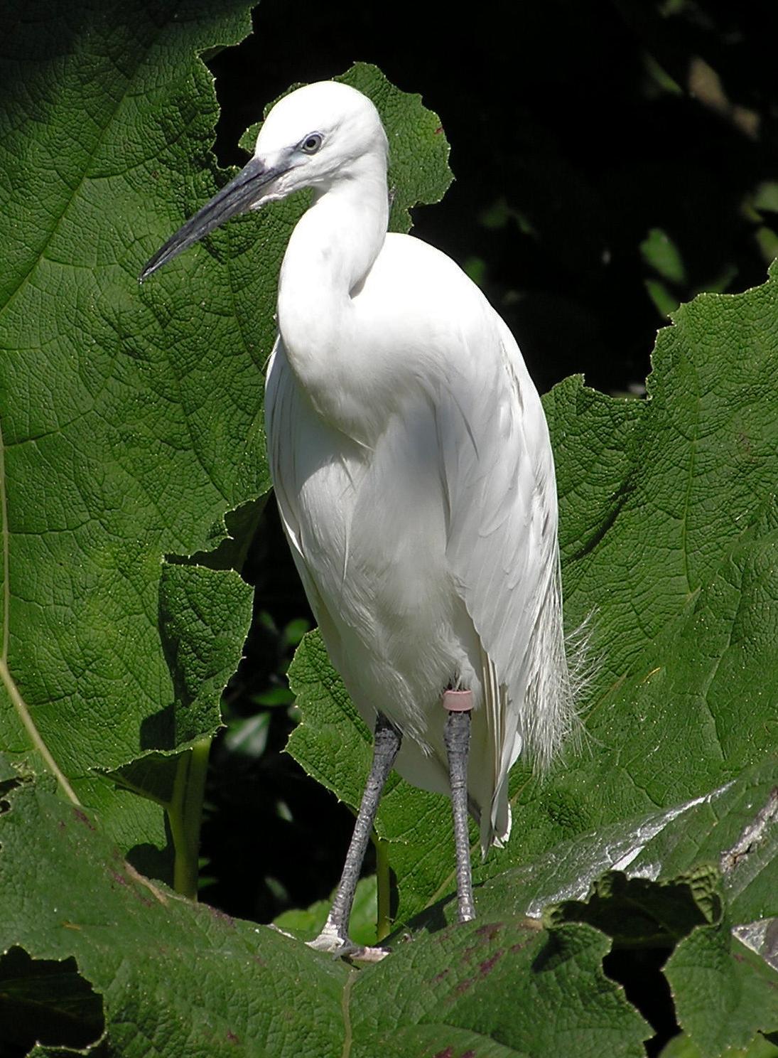 Cattle Egret   Birds of North America Online