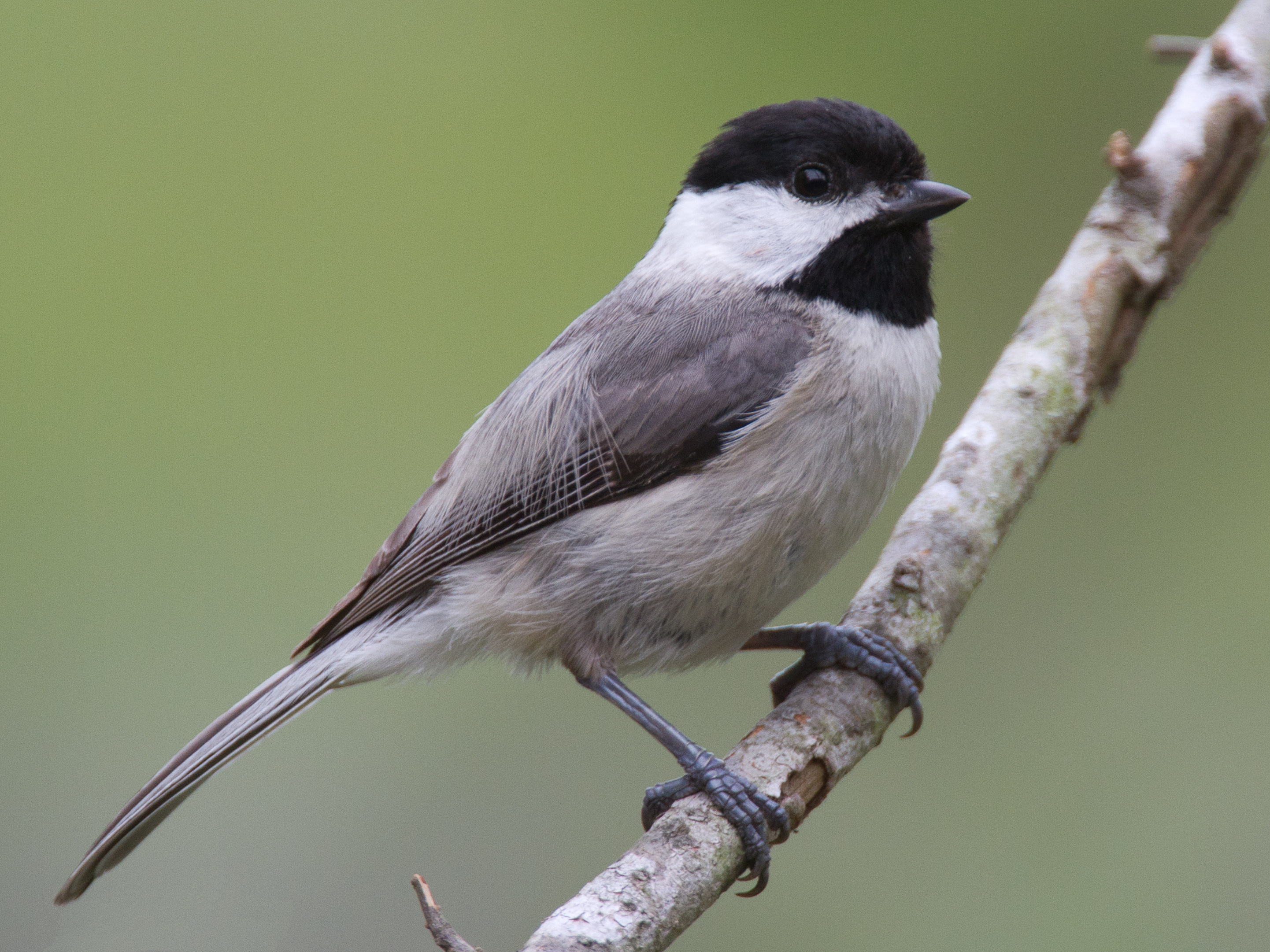 New chickadee study shows climate change affecting distribution