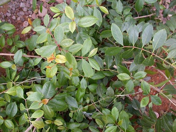 מהם ההשפעות של צמח הקאת (גת) ?