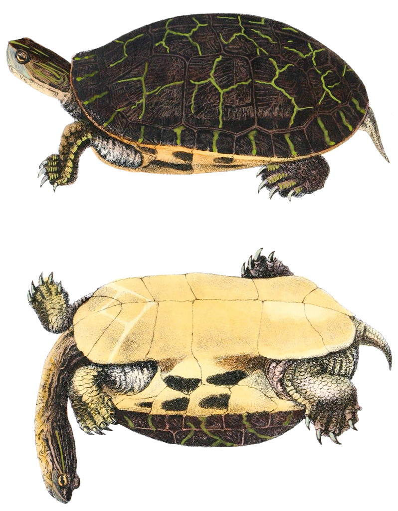 Chicken turtle - Wikipedia