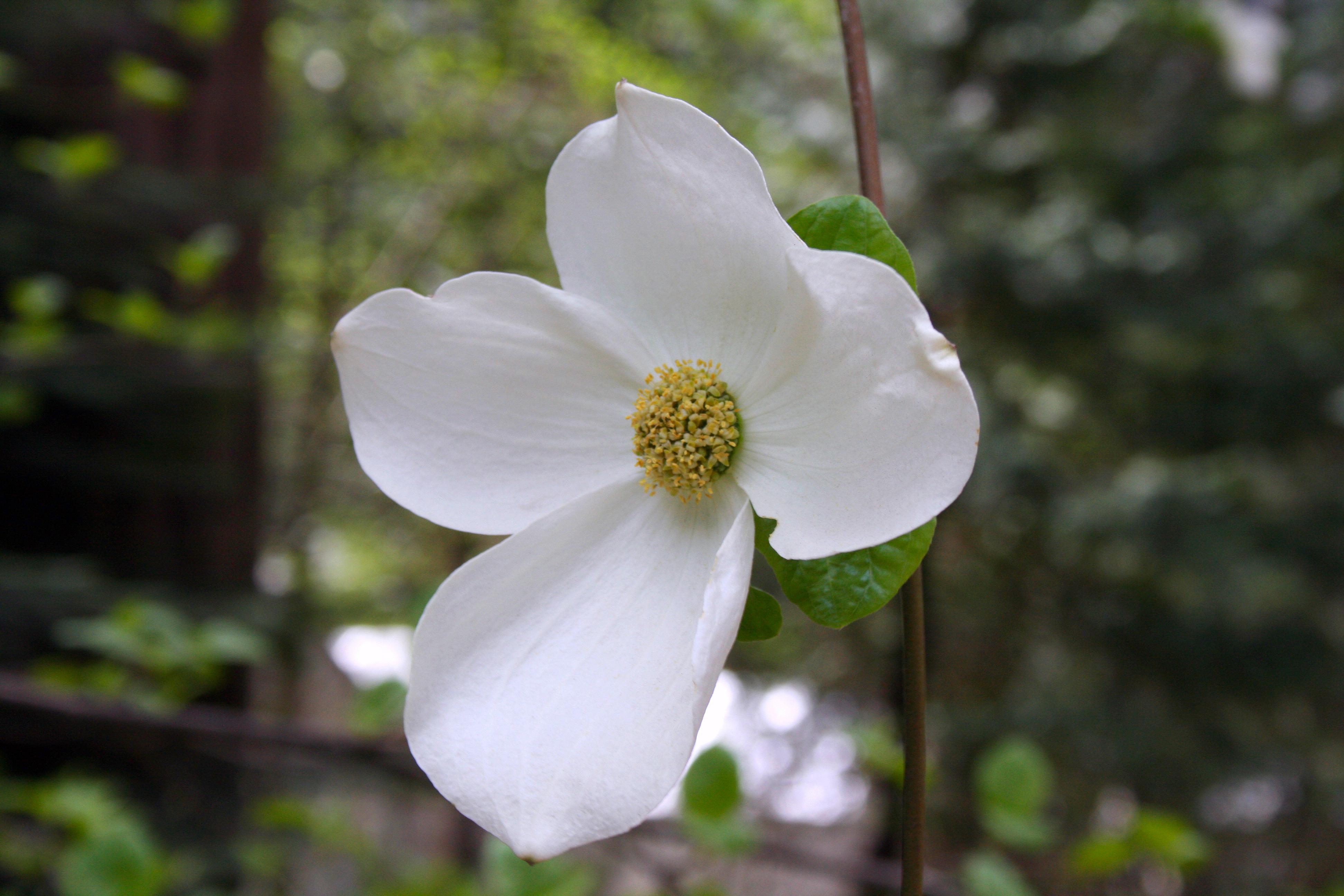 File Dogwood Flower Yosemite National Park Ca Jpg