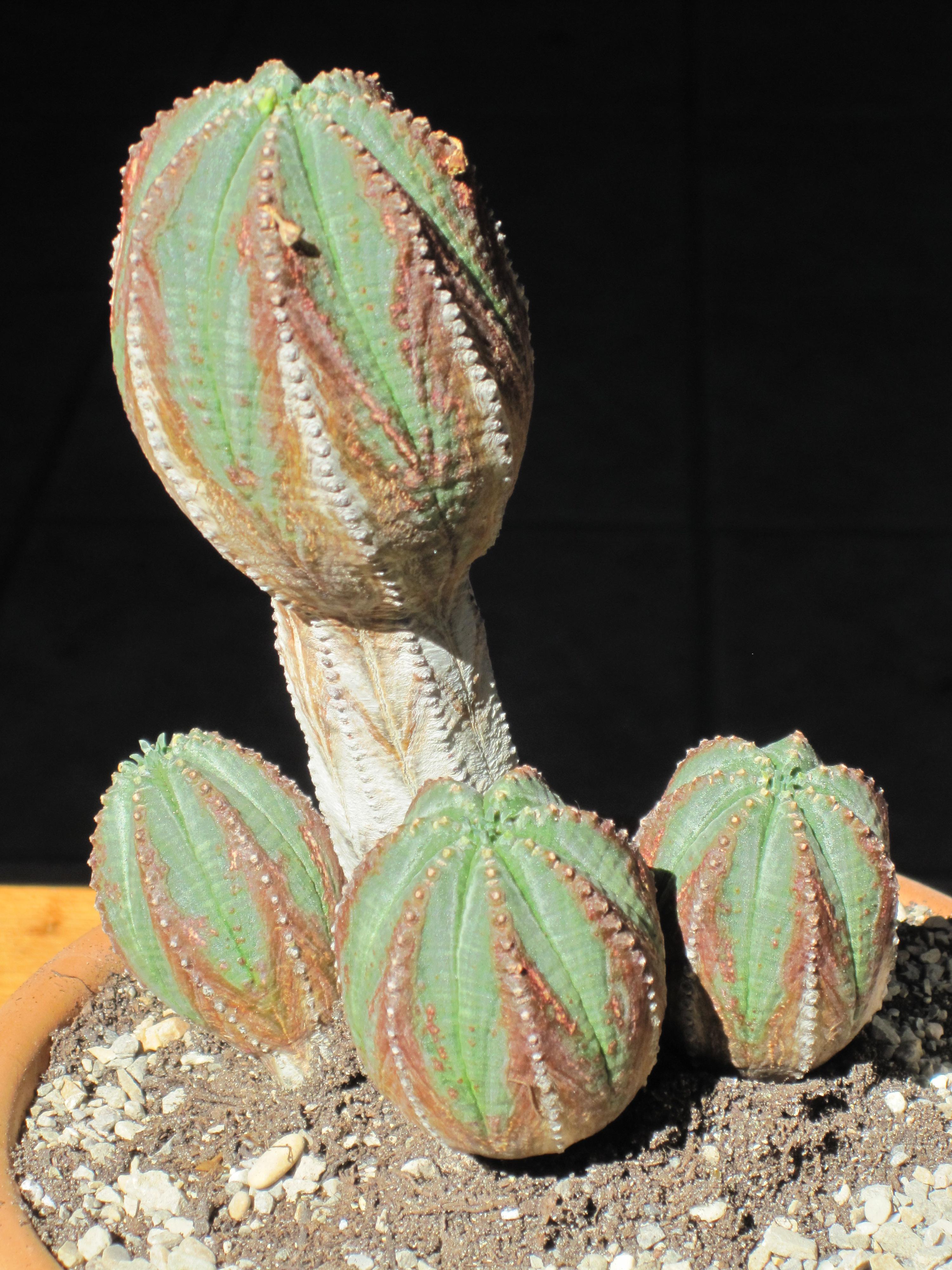 Wiki Euphorbia Upcscavenger