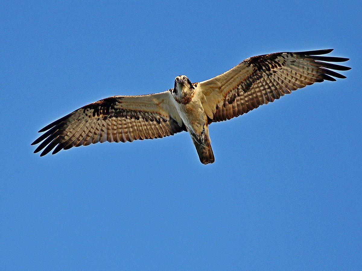 Fischadler – Wikipedia