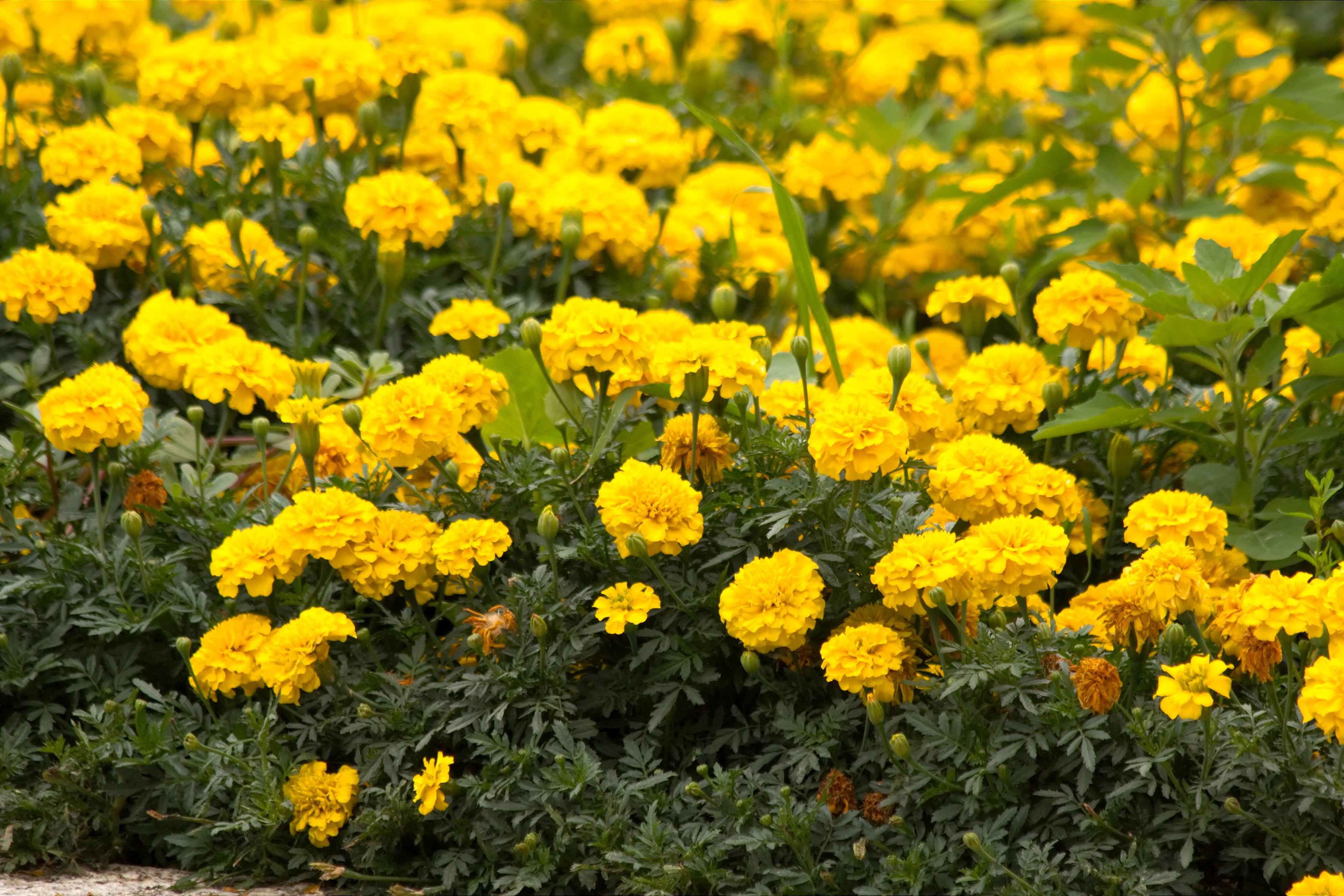 jardim rosas amarelas : jardim rosas amarelas:Flores De Agosto