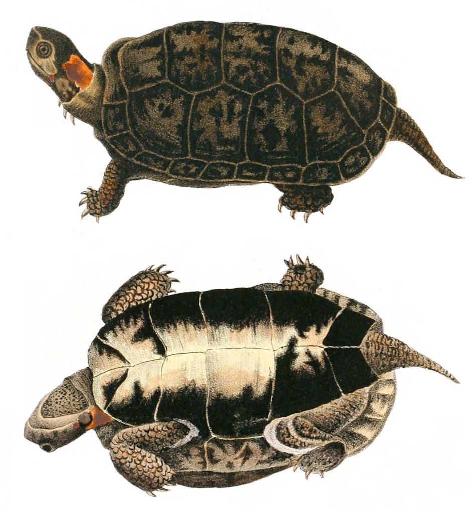 Bog Turtle Wikipedia