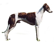 HungarianGreyhound.jpg