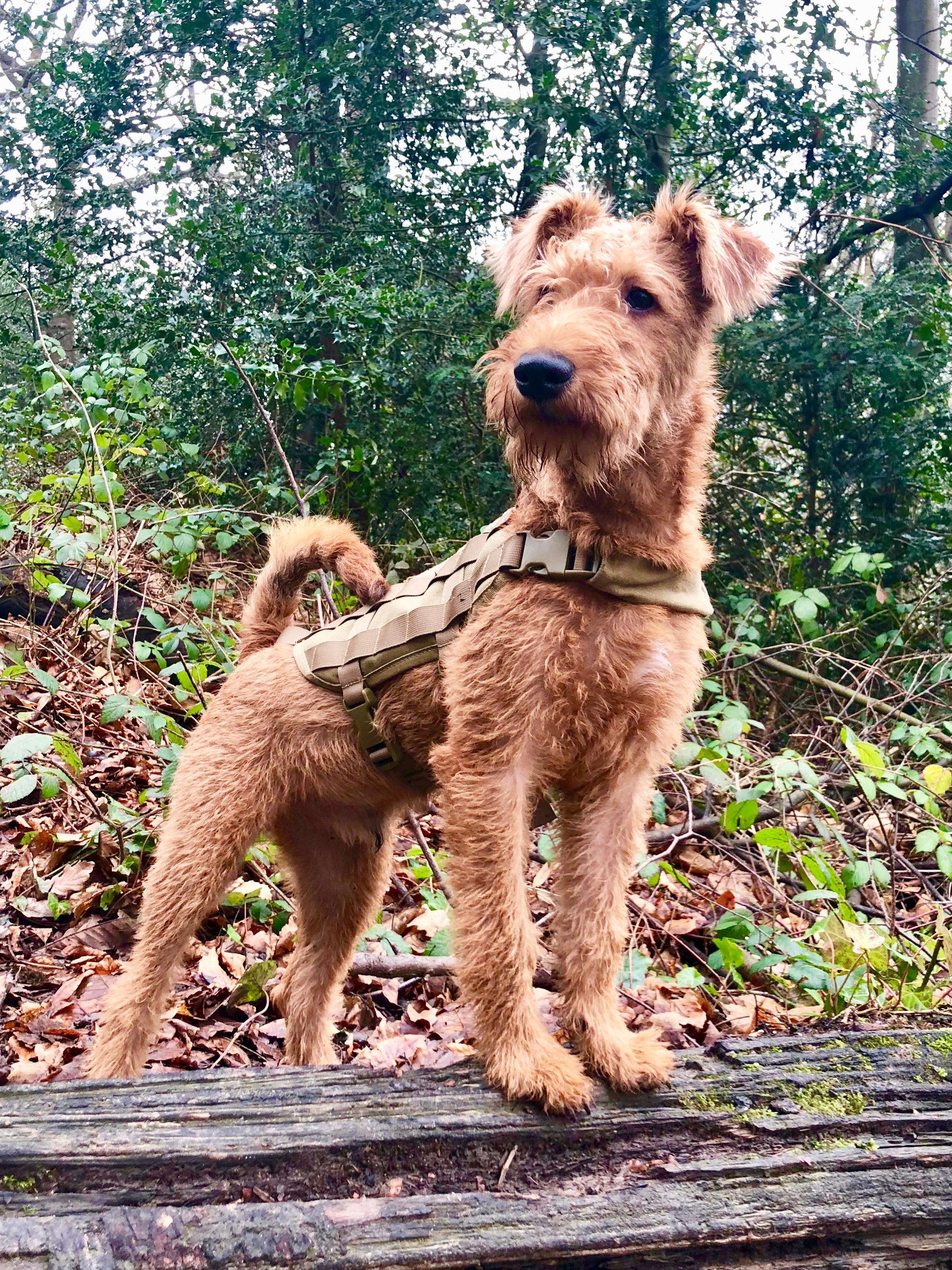 Irish Terrier - Wikipedia