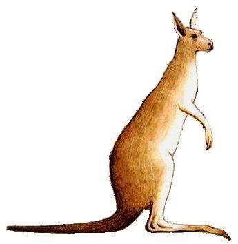 kangaroo englisch