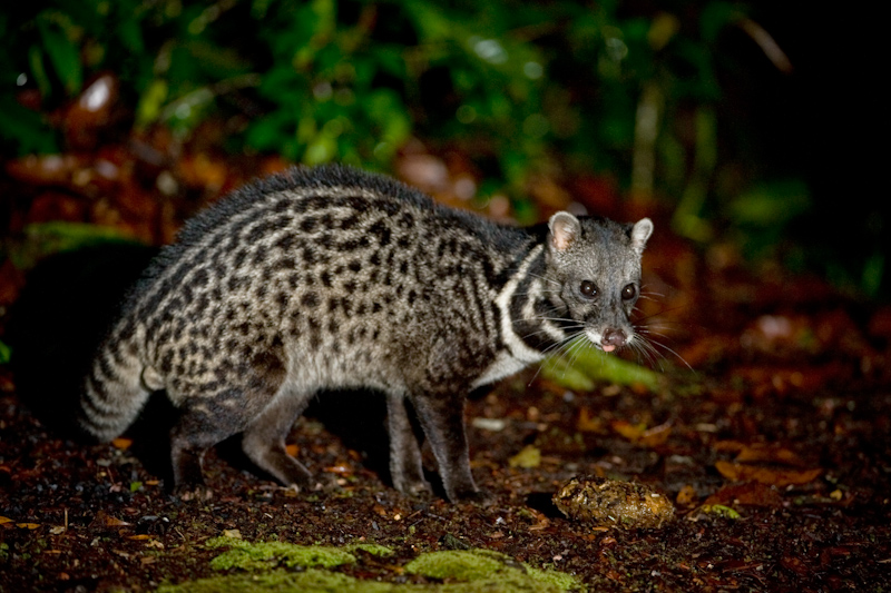 The average litter size of a Malayan civet is 1
