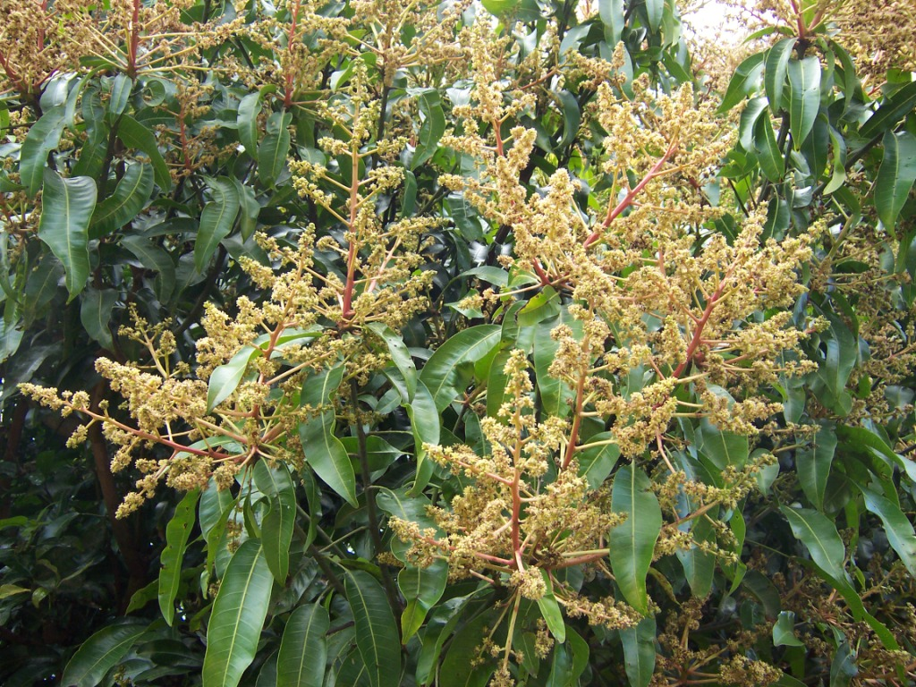 File Mangifera indica flowers2 furthermore 30bf99 b24011e further 369575 together with Watch in addition R 3be5aec8b24011e687f70025900fea04. on 24011