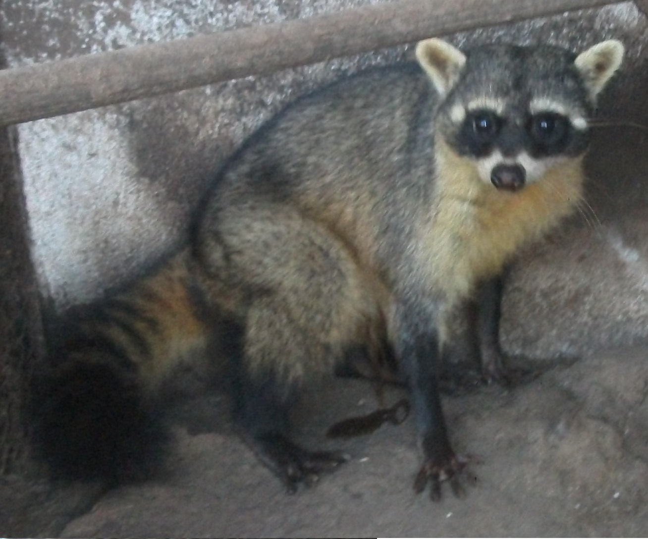Crab-eating raccoon - Wikipedia