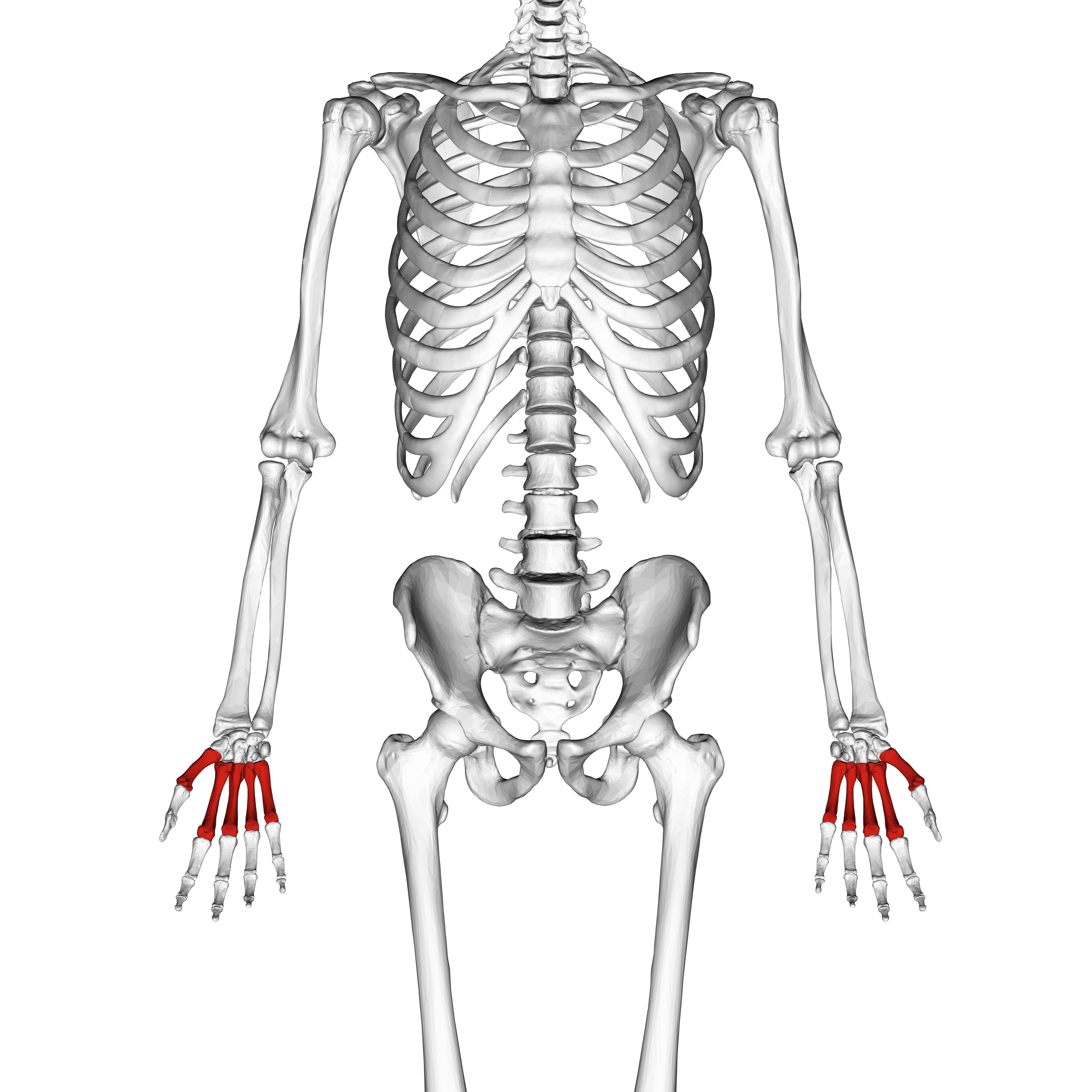 Верхняя часть скелета в картинках