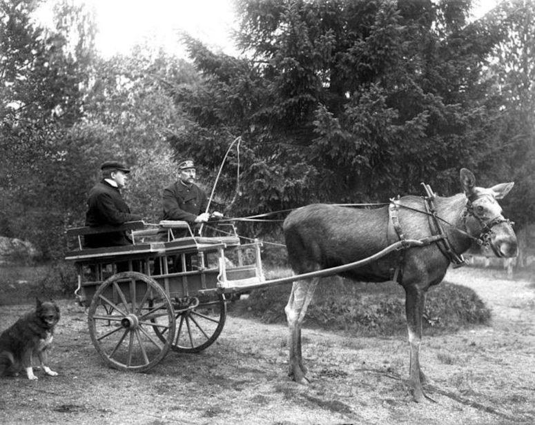 Moose_Stolta_pulling_cart_1908 file moose stolta pulling cart 1908 jpg wikimedia commons